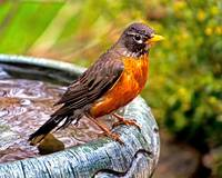 Mr.Robin sitting on the bird bath. These birds lov