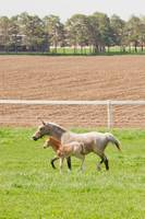 Cantring mare and foal