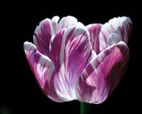 Purple and White Marbled Tulip