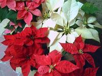 Mixed color Poinsettias 1