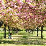 """Under The Cherry Blossom Trees"" by Ninas4otos"