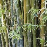 """Bamboo"" by RobinCowles"