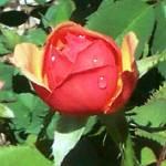 """""""Dewey rose Bud"""" by anichols111"""