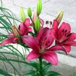 """Pink Lilies"" by anichols111"