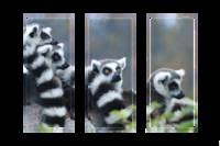 Cozy Lemurs Three Frames