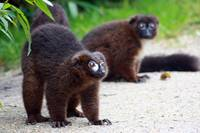 Curious Red Ruffed Lemur