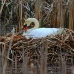 """Nesting Swan"" by usmcveteran8152"