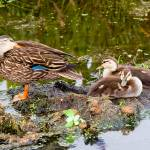 """Florida Duck & 2 Chicks"" by DAD"