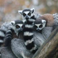cool lemur guys