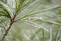 Water on pine tree