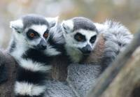 lemur brother love