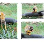 """Squirrel monkey finds a leaf"" by Funcards"