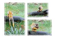 Squirrel monkey finds a leaf