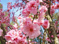 Spring Tree Pink Flower Blossoms