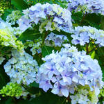 """Botanical Garden Floral art Blue Hydrangeas"" by BasleeTroutman"