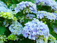 Botanical Garden Floral art Blue Hydrangeas
