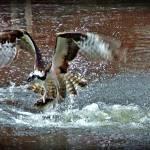 """""""Fish Hawk"""" by bavosiphotoart"""