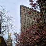 """Flatiron Building with Magnolia Saucer in New York"" by ShaneWells"