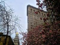Flatiron Building with Magnolia Saucer in New York