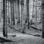 """Trees in a B.C. forest  black and white photograph"" by RF_Photography"
