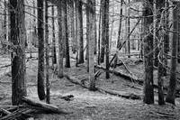 Trees in a B.C. forest  black and white photograph