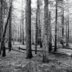 """Trees near Manning Park black & white photograph"" by RF_Photography"