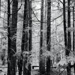 """Trees in the forest, black and white photograph"" by RF_Photography"
