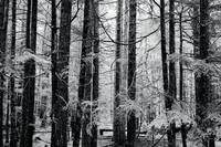 Trees in the forest, black and white photograph