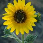 """Sunflower"" by ImagesbyMauveline"