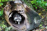 Raccoon welcomes you