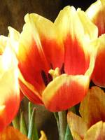 Red and Yellow Tulip centered