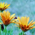 """Orange Osteospermum"" by CallunaPhotography"