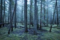 Green blue fir trees in nature forest photographs
