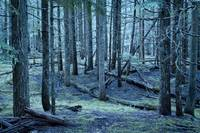 Forest trees in nature blue green color photograph