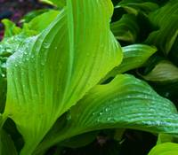 Hosta in the Rain
