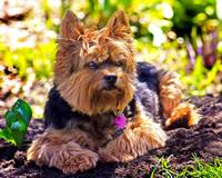 Zack my Yorkie enjoying a warm spring day in the g