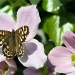 """Speckled wood butterfly"" by JohnBrown"