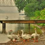 """Geese At The Boat Dock"" by BazidloPhotography"