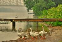 Geese At The Boat Dock