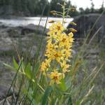 """""""Boundary Waters Wildflower"""" by kimmerhaw"""