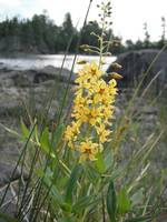Boundary Waters Wildflower