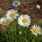 """Oxeye Daisy 1"" by rderder"