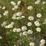 """""""Chrysanthemum leucanthemum"""" by rderder"""
