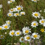 """Oxeye Daisy 2"" by rderder"