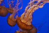 Iconic Sea Nettles