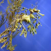 Amazing Leafy Sea Dragons