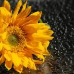 """Sunflower"" by XBearPDX"