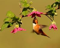 Hummingbird with Salmonberry flowers.