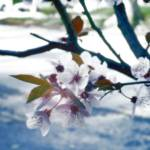 """Untitled Blossom"" by jjs_graphics"