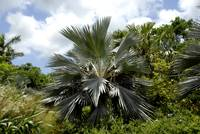 Cayman Islands Plant Life : Silver Thatch